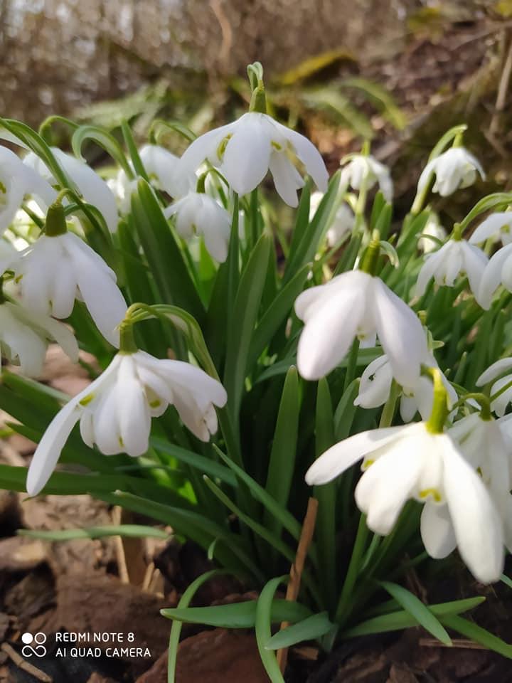 květina - sněženky