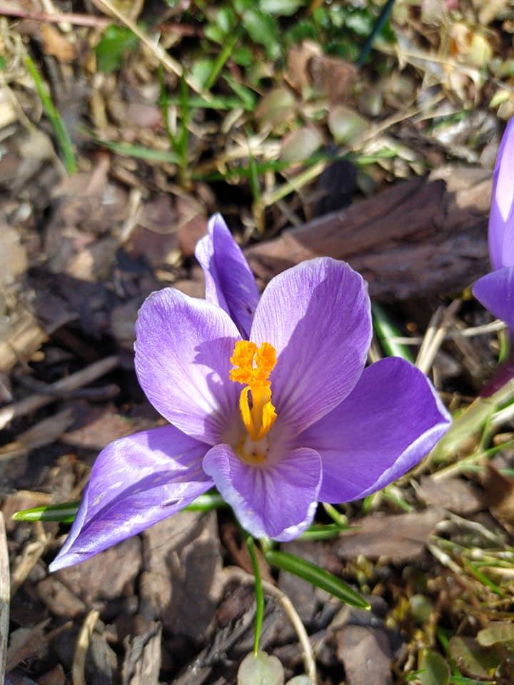 květina - krocus